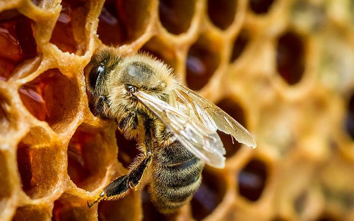 Propóleo un aliado en belleza y salud, imagen de abeja en panal